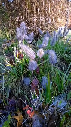 pennisetum in the first frost