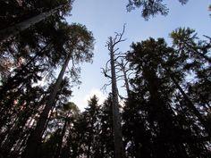 Multiharju primeval forest. Seitseminen National Park.   ~Finnish nature through my eyes - Sari Lapikisto
