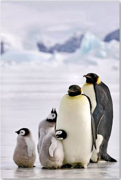 Penguins mate for life.