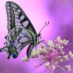 ~purple butterfly~  #butterflies  #swallowtail
