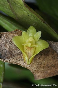 Dendrobium keithi