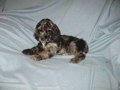 Blue Merle Cocker Spaniel puppy!!!