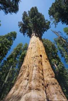 The General Sherman Tree, the largest tree in the world in Sequoia National Park in East Central California, Sierra Nevada, California,  .