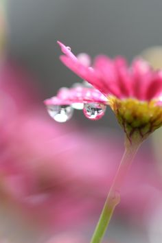 Download this free photo from Pexels at https://www.pexels.com/photo/pink-petal-flower-in-macro-photography-27747 #raindrops #flower #pink