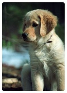 This is Sadie, the Golden Retriever puppy, according to the original owner of the pin.