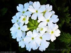 Flores do Meu Jardim.. (De Branco Vestida..)