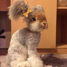 Wally is an angora bunny with a poodle-inspired 'do.