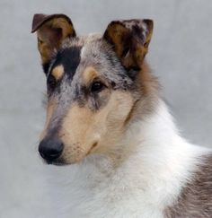 Smooth Collie (blue merle)