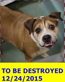 SAFE 12-29-2015 by Amsterdog Animal Rescue --- SUPER URGENT Brooklyn Center BUSTER – A0636579 **RETURNED 12/16/15** NEUTERED MALE, BROWN / WHITE, BOXER MIX, 10 yrs SEIZED – EVALUATE, HOLD RELEASED Reason OWNER HOSP Intake condition GERIATRIC Intake Date 12/16/2015 http://nycdogs.urgentpodr.org/buster-a0636579/