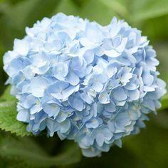 Hortensia Blue. #flower