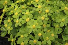 Hacquetia epipactis: to 30cm, partial to full shade, good with Spring bulbs