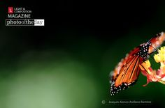 Traveler, by Joaquín Alonso Arellano Ramírez - Photo of the Day | April 14 | Traveler, by Joaquín Alonso Arellano Ramírez  Apr 14, 2012 by L Team Light & Composition Facebook Page  1Share  0tweetsretweet    Photo of the Day - April 14  I love Monarch butterflies since my childhood, they are so delicate and at the same time have a great strength to achieve one of the most impressive migrations. It's fantastic to seem them here in Monterrey during its migration and I found this...