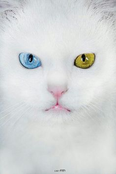cats in the city of turkey van generally eyes are different colors