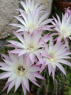 Cactus : Os lo diré con flores.