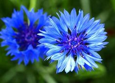 """Cornflower / Bachelor Button Seeds - """"Dwarf Blue"""".    Winter sowing from seed.  Annual.  early/mid season.  12-24"""".  Sun/shade."""