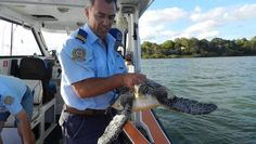 VICTORIA Point Volunteer Marine Rescue secretary Dave Paylor returns the recovered turtle to waters near Russell Island.