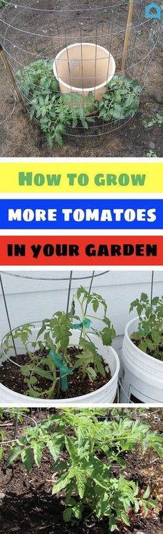 You've been trying for years - but here's how you'll finally succeed! Tips For Growing Tomatoes, Growing Vegetables, Growing Plants, Grow Tomatoes, Gardening Vegetables, Topiary Garden, Garden Plants, House Plants, Cool Diy Projects