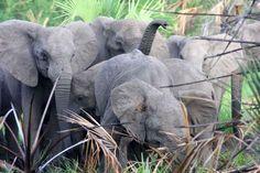 Los elefantes africanos que nacen sin colmillos