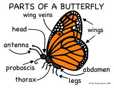 science worksheet parts of a butterfly caterpillar to butterfly rh pinterest com Butterfly Anatomy Diagram Butterfly Anatomy Diagram