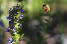 Hyssop Oxymel: A Cold, Flu and Bronchitis Home Remedy