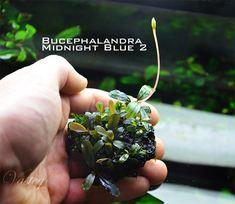 Artigo Aquaflux: BUCEPHALANDRA - a planta mágica de Bornéu • (Autor: Tomasz Wastowski) • Aquaflux Aquarismo e Aquapaisagismo. Aquarismo é no Aquaflux