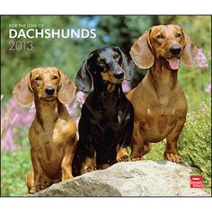 For the Love of Dachshunds Wall Calendar: With their distinctive silhouette and tenacious personality, Dachshunds are natural-born comics. Whether digging holes in the garden, hunting for food in the house, or curling up in a basket, these diminutive dogs are always ready to entertain.  http://www.calendars.com/Dachshunds/For-the-Love-of-Dachshunds-2013-Deluxe-Wall-Calendar/prod201300004515/?categoryId=cat10026=cat10026#