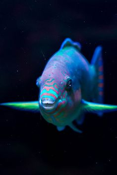 Parrot Fish - I have seen many of these when we went diving in the Florida Keys. Underwater Creatures, Underwater Life, Ocean Creatures, Beautiful Sea Creatures, Animals Beautiful, Colorful Fish, Tropical Fish, Parrot Fish, Fish Fish