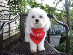 I custom make red kerchiefs like this one in my Etsy shop, CandyTheArtist.  Doesn't Bon Bon look great?