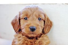 Red Mini Goldendoodle Barrick is 6 weeks old here