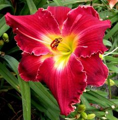 Sacred Fire (Faye O. Shooter, 2006). 30 M Reb Dor. 6 - 2 ½ - 1 ½. Tetraploid. This true red has very tight golden crinkles around the petals and cream-gold pencil thin edging around the sepals. The green heart extends to the yellow throat and is washed with red. Strong substance. Form is triangular and overlapped. Three-way branching, 16 buds.