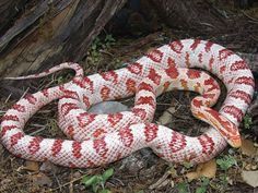 Candy Cane Corn Snake is a North American species. Their docile nature reluctance to bite make them popular pet snake. Corn snakes lack venom and are harmless to humans Pet Quotes Cat, Candy Cane Game, Kinds Of Snakes, Corn Snake, Pet Snake, Animal Room, Pet Rabbit, Reptiles And Amphibians, Cute Creatures