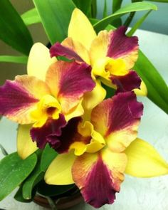 Orchid Cattleya Hybrid Roy's Magic