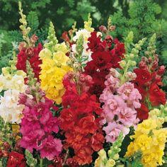 GD030047 Pflanzen - Saatgut - Blumensamen - Löwenmäulchen Madame Butterfly-Mischung F1