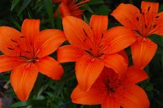tiger lilies pictures - Google Search