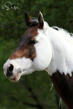 Pretty Paint horse with a strong beautiful face. Great horse photography.