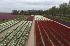 """CREIL -""""Langgerekte kavels met tulpen met strakke rechte sloten eromheen, de Noordoostpolder lijkt wel een Mondriaan in het voorjaar!""""Daar gaan we wat mee doen, dacht de organisatie van hetProfytodsd Tulpenfestival en zo ontstond het idee van een 6.000 vierkante meter groot Mondriaan schilderij van tulpen om het strakke polderlandschap te symboliseren."""