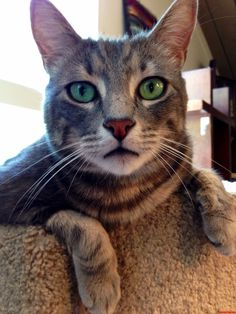 It All In The Eyes… - http://cutecatshq.com/cats/it-all-in-the-eyes/