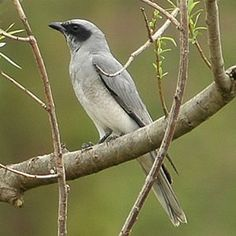 The Black-faced Cuckoo-shrike (Coracina novaehollandiae), also called a large cuckoo-shrike, is a bird common to the Indian subcontinent (ex...
