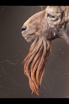 .goat profile.  handsome.