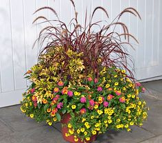 Fountain Grass Fireworks!  Celebrate all summer long with this festive, colorful display. An easy-care Grass, Pennisetum setaceum 'Fireworks' lives up to its name, creating an explosion of burgundy-and-hot-pink, graceful foliage and slinky, foxtail-like inflorescences. Calibrachoa Superbells Saffron and Lantana Landmark Rose Sunrise  bloom with abandon until a hard frost and will attract butterflies. The intricately variegated and ruffled foliage of Coleus 'Mint Mocha' (one of our new…
