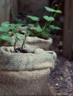 Great home veg garden blog   How to grow potatoes in coffee sacks! A little progress report on how our potato plants are coming along.