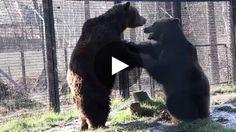 Le 10 mars dernier, l'équipe du Wildwood Trust a pu assister à une belle rencontre entre Milcho et Gosho, deux ours...