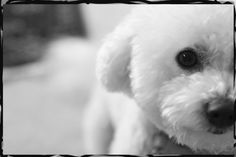 Here's to all the Bichon's out there!