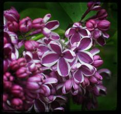 lilacs. 2014 - Colour of the Year - PANTONE 18-3224 Radiant Orchid . #colouroftheyear #pantone18-3224 #radiantorchid