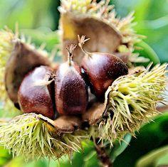Árboles frutales de crecimiento rápido 6