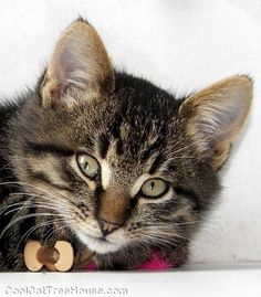 Look at this #cute #kitty #fuzzball | www.coolcattreehouse.com
