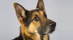 Right breed for you? German Shepherd Dog information including personality, history, grooming, pictures, videos, how to find a German Shepherd Dog and AKC standard.