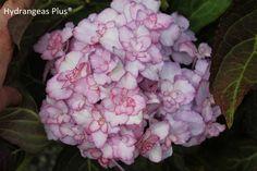 Japanese Maple Garden, Hydrangea Macrophylla, Farm Gardens, Flower Show, Garden Planning, Planting Flowers, This Is Us, Bloom, Hydrangeas