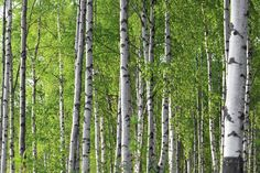 Spring Birch Forest - Wall Mural & Photo Wallpaper - Photowall