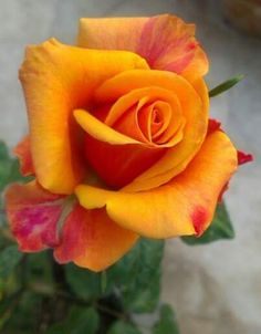 """I Would Absolutely Love to Have Some """"Hugger Orange"""" Roses. Beautiful Rose Flowers, Beautiful Flowers Wallpapers, Exotic Flowers, Amazing Flowers, Pretty Flowers, Orange Rosen, Fleur Orange, Orange Orange, Orquideas Cymbidium"""